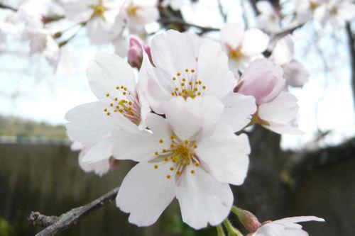 20110410sakura05.jpg